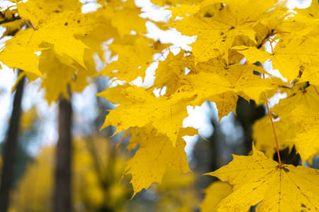 Yellow, bright leaves on a tree, close-up. Autumn background. High quality photo