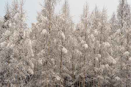Winter landscape in Birch trees under the snow. Scandinavia. Finnish nature. High quality photo