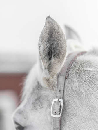White horse ear, close-up, horse in paddock in winter. High quality photo Banque d'images
