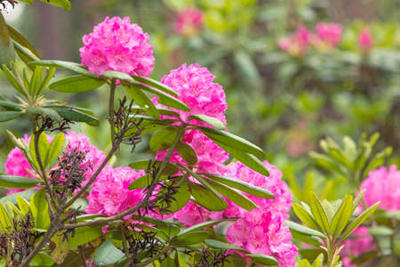 Large bushes of alpine rose. The pink rhododendron has blossomed.
