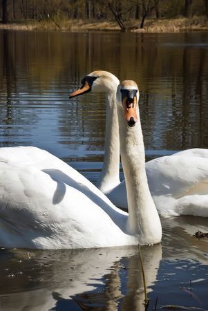Swans pair family lake nature water birds feathered race tender love