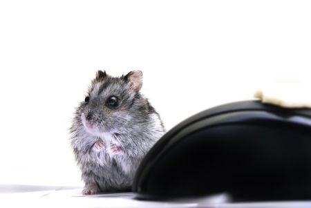 hamsters: Hamster Jungar dzhungarik Phodopus sungorus kind hamster mohnonogih kind gnawer smallest home innocuous