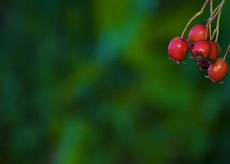 haw on a green background in the leaves of the tree juicy red ripe appetizing right picture