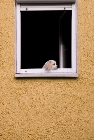 dog in the window, bored look on the street on a yellow field melancholy loneliness boredom Stock Photo