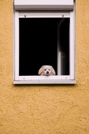 dog   in the window, bored look on the street on a yellow field melancholy loneliness boredom photo