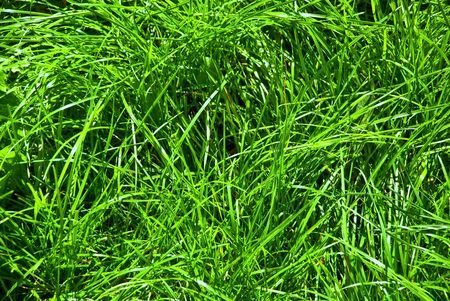 green grass lawn on a sunny day narrow stems much pure joy Stock Photo