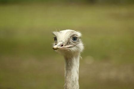 Emu Stok Fotoğraf