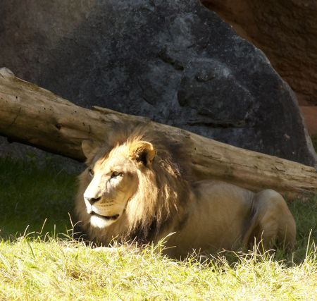 Lion Reklamní fotografie - 8033834