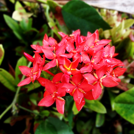 ixora: Red Ixora flower