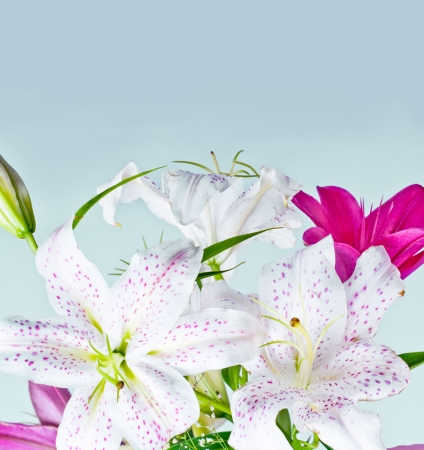 white and pink lily flowers over blue background photo