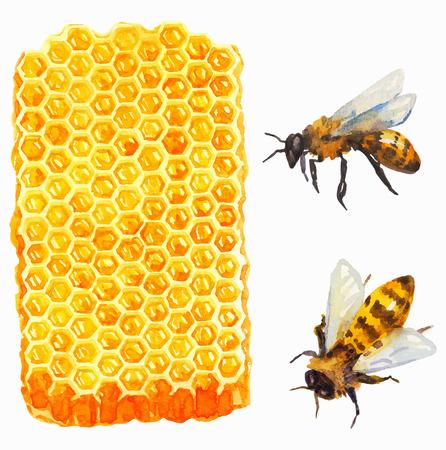 abejas: Acuarela Honeycomd y abeja sobre blanco