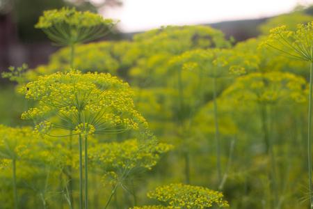 Grüner Regenschirm von Fenchel im Garten Standard-Bild - 85574913