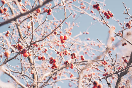 Winter picture with branches and red berries, wild apples covered with hoarfrost