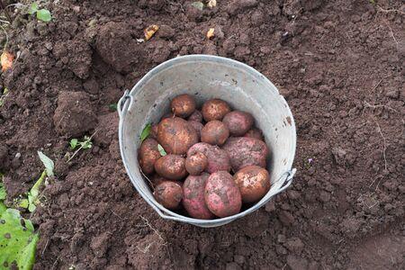 Potatoes in a bucket.