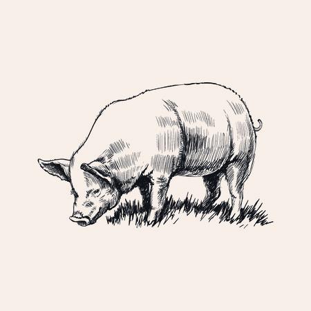 sow: Hand drawnSketch pig vector illustration Illustration