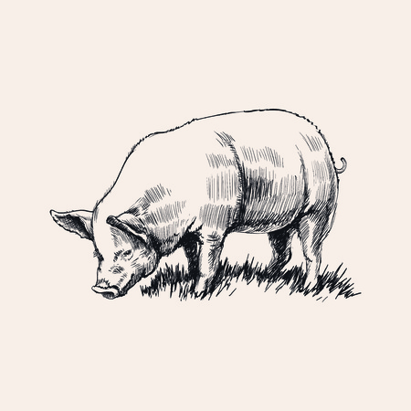 Hand drawnSketch pig vector illustration Illustration