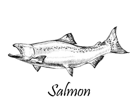 Salmon Fish Hand Drawn Vector Illustration Banco de Imagens - 80872362