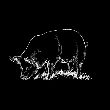 Hand drawn Sketch of a pig vector illustration