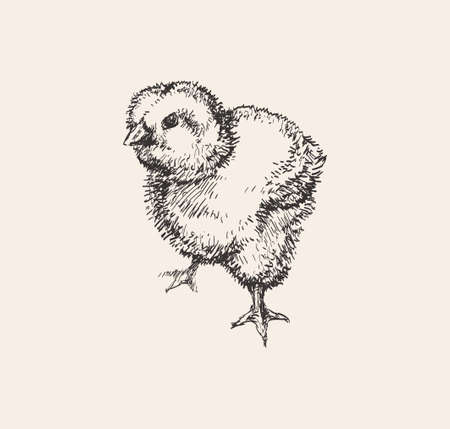 Chick Hand Drawn Sketch Vector illustration. Cute little chicken. Ink drawing. Farm. Poultry farming