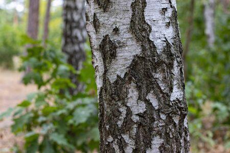 Nahaufnahme des Birkenstammes auf einem Birkenholzhintergrund Standard-Bild