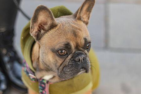 Cute French Bulldog in green Hoodie sitting portrait