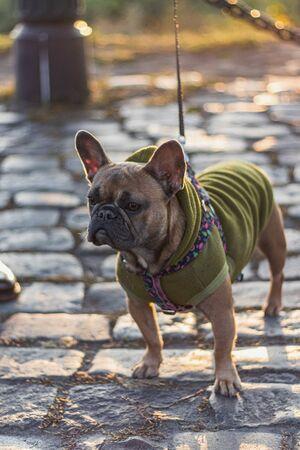 Cute French Bulldog wearing Hoodie outdoors Stock fotó