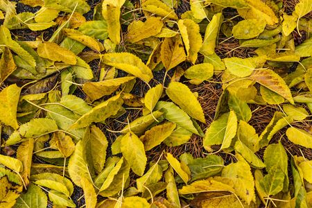 Colorful Autumn Mulberry foliage leaves background