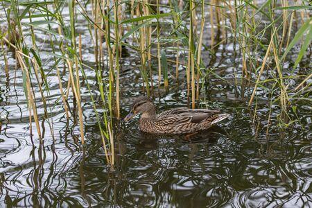 Stealth on lake. Nice Urban Duck hiding in reed Stock fotó