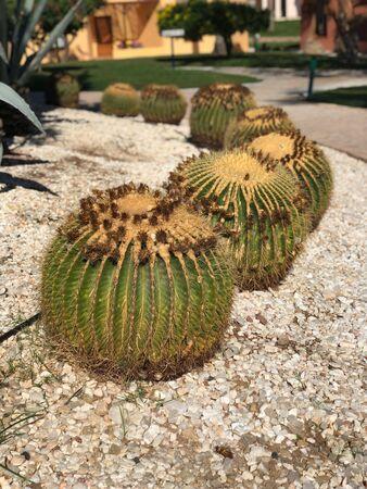 Echinocactus grusonii big round Mexican cactus
