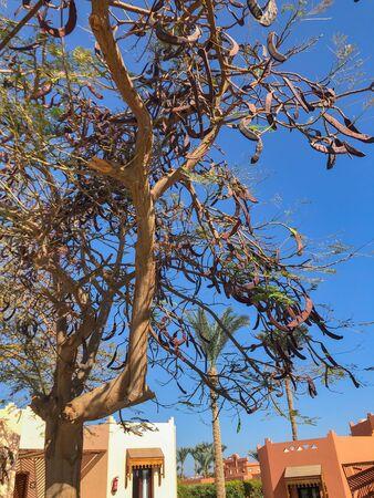 Ceratonia Siliqua mature tree on blue sky background