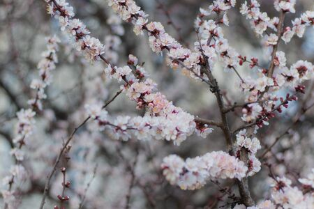 Balmy White-Pink Flowers on Blooming Apricot tree in the Spring time