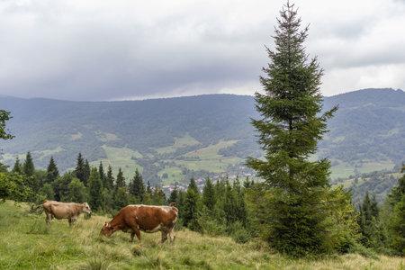 Cows Graze in the Carpathian mountains Meadow. Majestic view on beautiful foggy Carpathian mountains Meadow