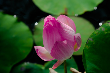 egyptian lily: lotus in a pond Stock Photo