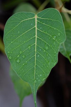 Pho tree leaf
