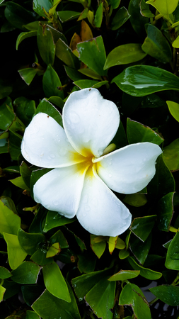 redolence: White frangipani and green leaf in sunny day