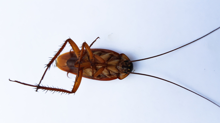 pest control: cockroach bug isolated on white