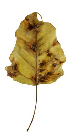 bodhi leaf vein isolated on white background
