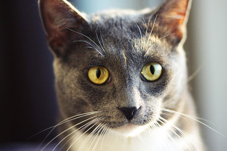 Cute grey cat with yellow eyes and long moustache basking in the warm sun