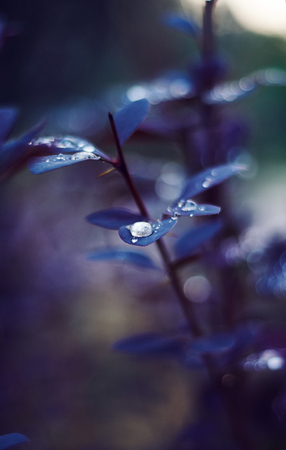 On the beautiful purple leaves of barberry gathered dew, similar in color and shape to the magic pearls