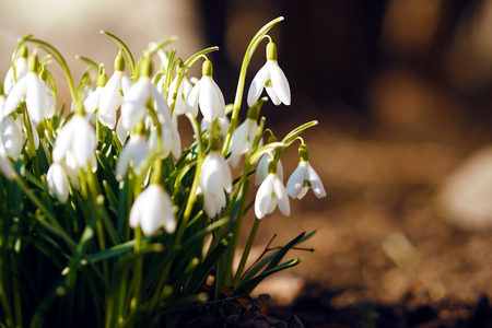 Delicate bright white snowdrops grow from the bare ground, illuminated by the spring sun