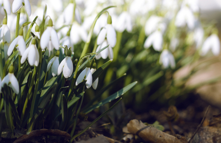 Fresh only grown pure bright white snowdrops, marking the arrival of spring