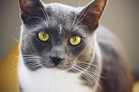 A beautiful grey cat with a white spot on his forehead and yellow-green eyes is illuminated by light Foto de archivo