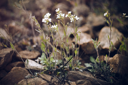White delicate small flowers on long stems grow among the huge stones on the rock Фото со стока