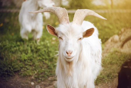 A white beautiful goat with long massive horns with yellow eyes stands on a background of green pasture among the rest of the herd on a Sunny day.