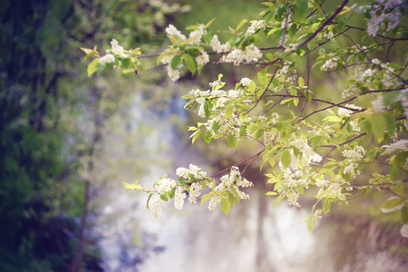 Delicate white pure blossoming bird cherry flowers on the branches on the background of the landscape of the current river on a spring Sunny day. Фото со стока