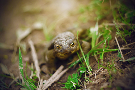 A dirty little toad with yellow eyes sits on the wet ground among the green grass, illuminated by the sun.