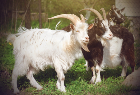 A few he-goats, two speckled and one white are on the green meadow pasture, lit by sunlight. Фото со стока