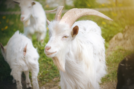 A white goat with yellow eyes and beautiful massive horns stands among the herd on a flowering meadow, illuminated by the summer sun.
