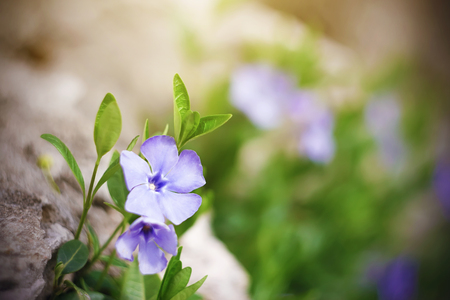 Beautiful purple tenacious flower periwinkle grows in a meadow illuminated by sunlight in spring