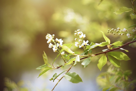 Delicate pure white birdcherry blossoms with light green leaves bloom on a branch illuminated by sunlight on a spring day.